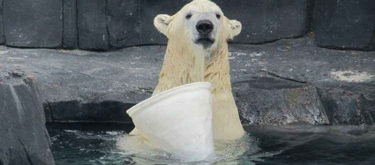 soaking wet polar bear